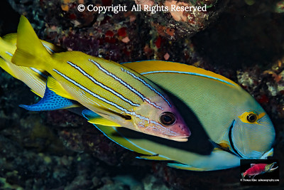 Bluestripe Snapper next to an Eyestripe Surgeonfish