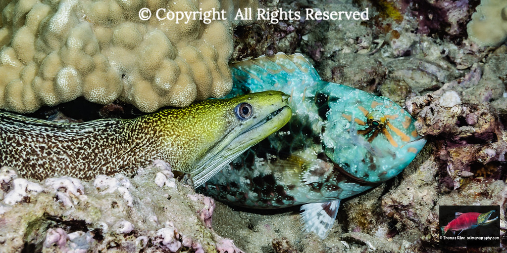 Stareye Parotfish & Undulated Moray Eel