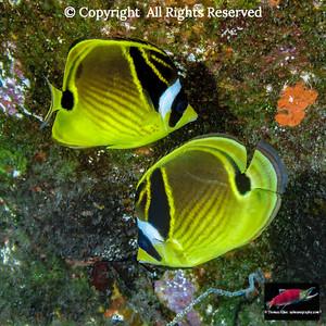 Racoon Butterflyfish pair