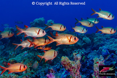 Schooling Pearly Soldierfish