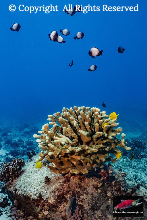 A school of Hawaiian Dascyllus over  antler coral
