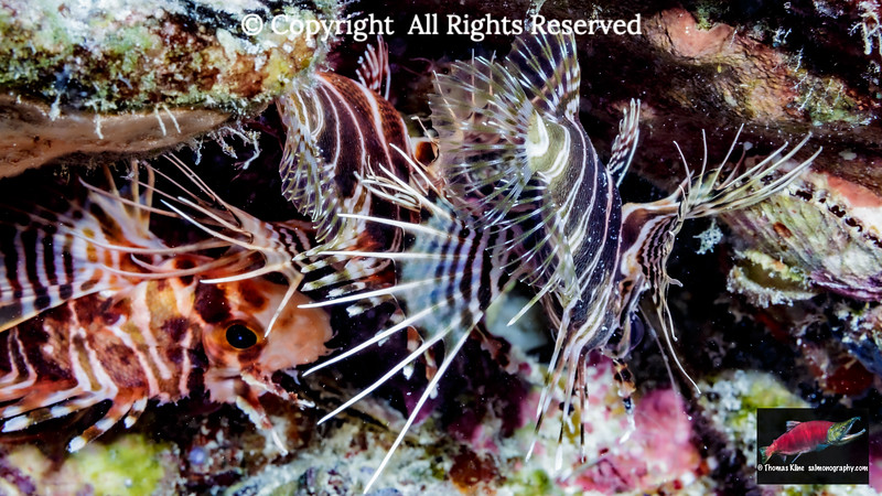 Hawaiian Turkeyfish
