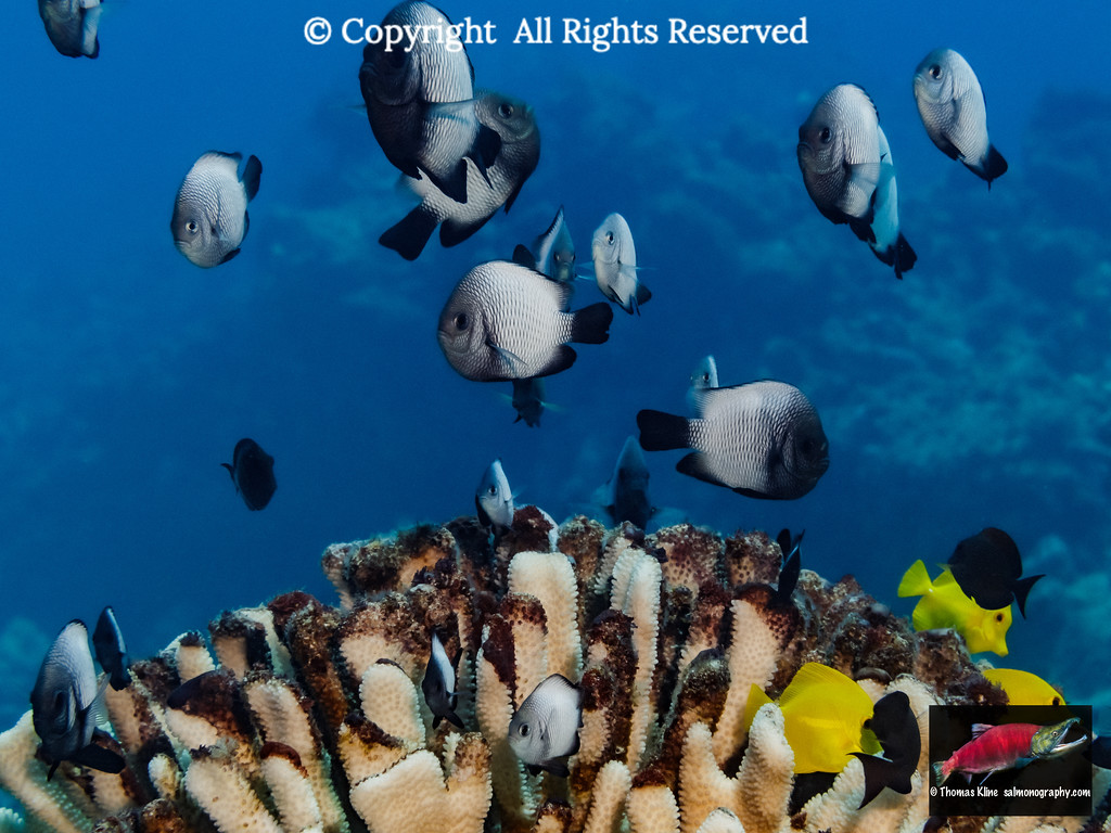 A school of Hawaiian Dascyllus over bleached antler coral