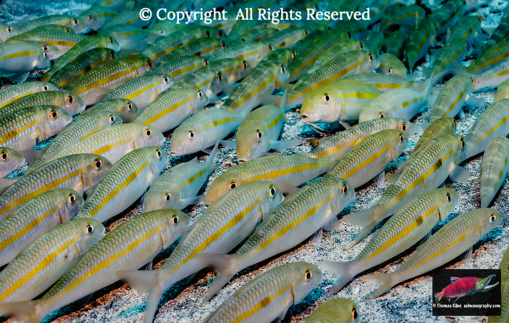 Yellowstripe Goatfish school resting