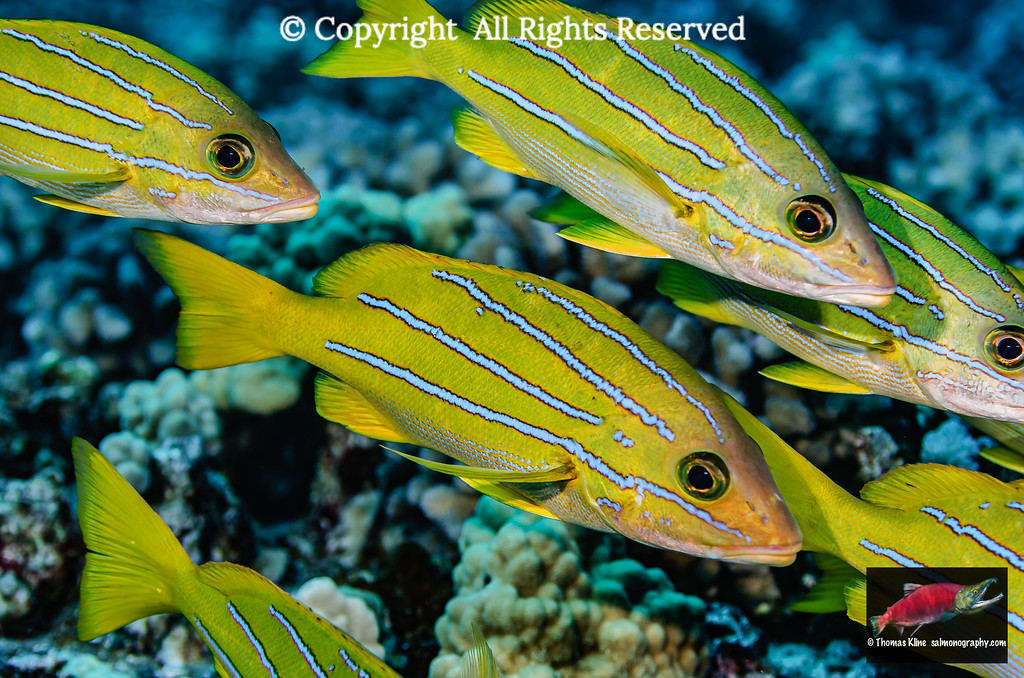 Bluestripe Snappers