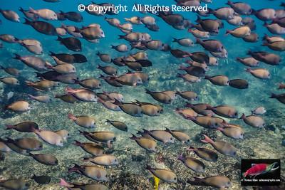 Brown Surgeofish