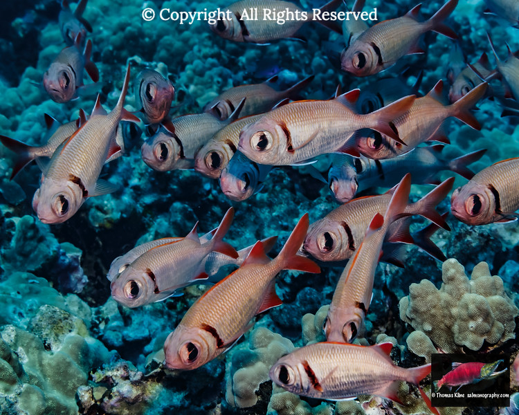 Epaulette Soldierfish schooled near coral