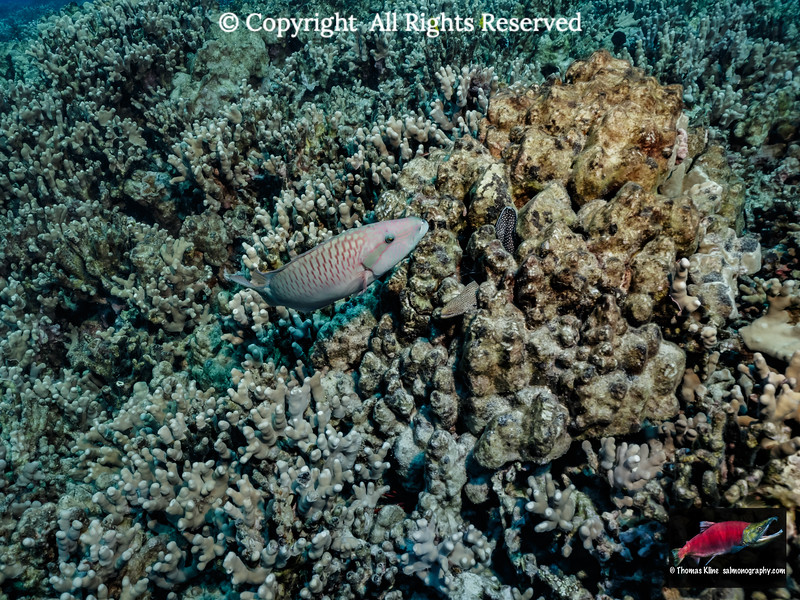 Ringtail Wrasse with Whitemouth Moray Eel