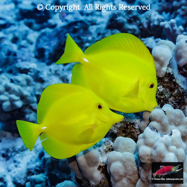 Pair of Yellow Tang