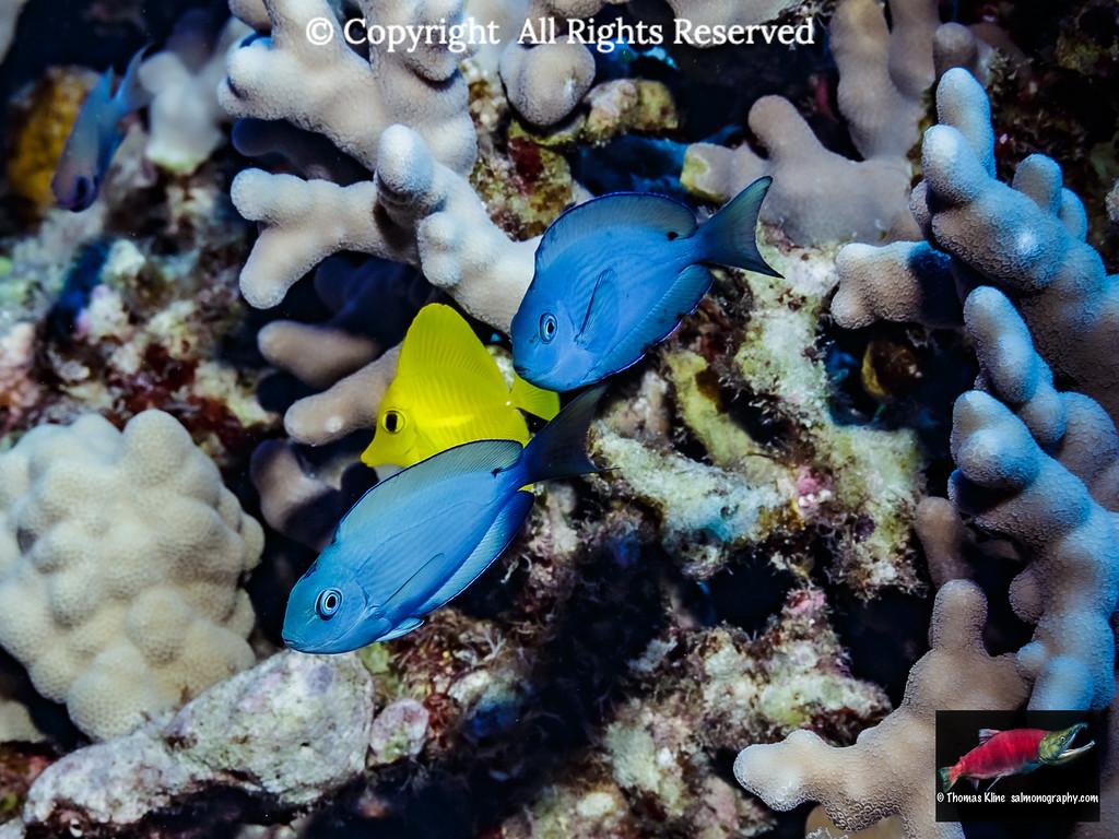 Juvenile surgeonfishes (Acanthuridae)