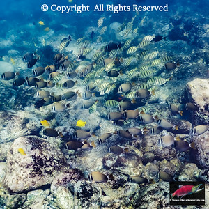 Convict Surgeonfish, Whitebar Surgeonfish, and Yellow Tang