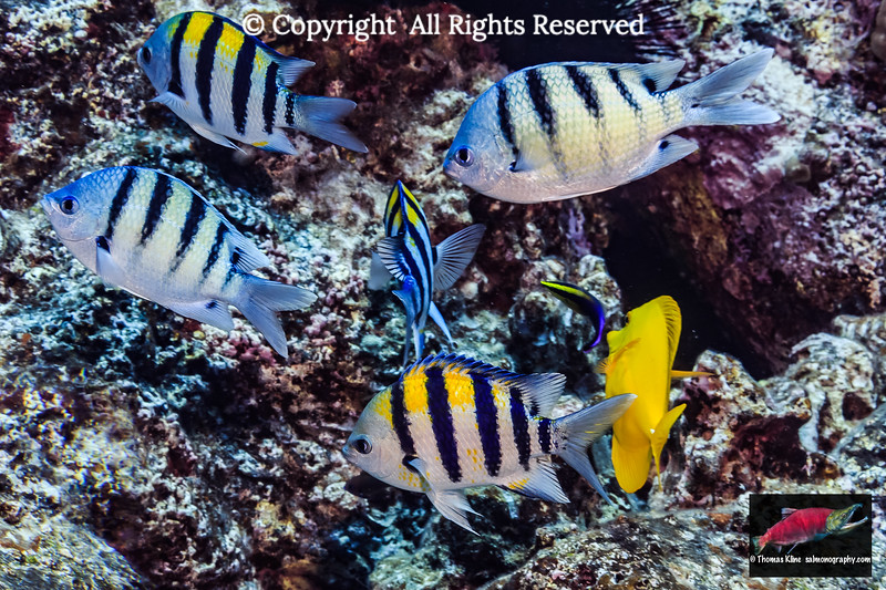 Native and introduced sargeants at a cleaning station