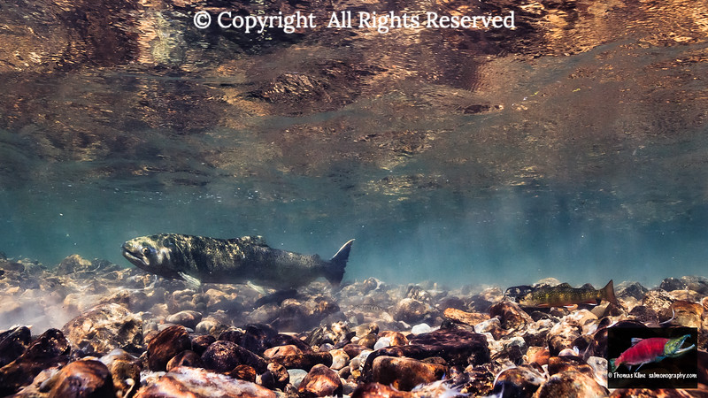 Brook Trout and precotial parr male observe a female Chinook Salmon