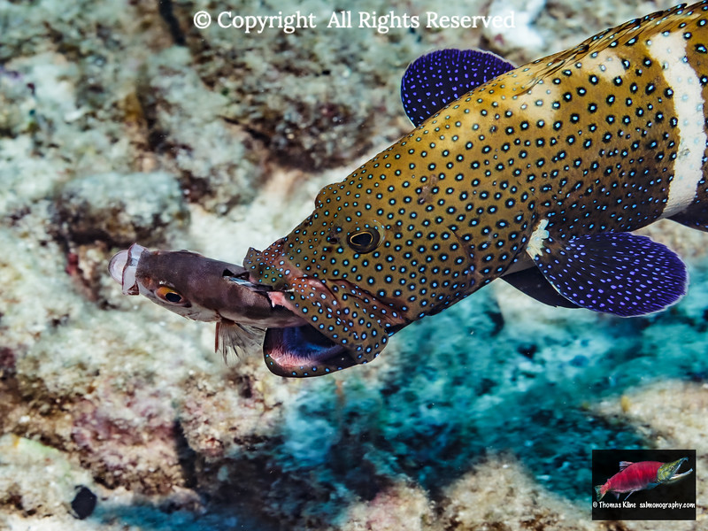 Peacock Grouper with prey