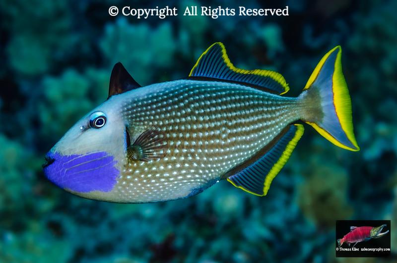 Bluegill Triggerfish