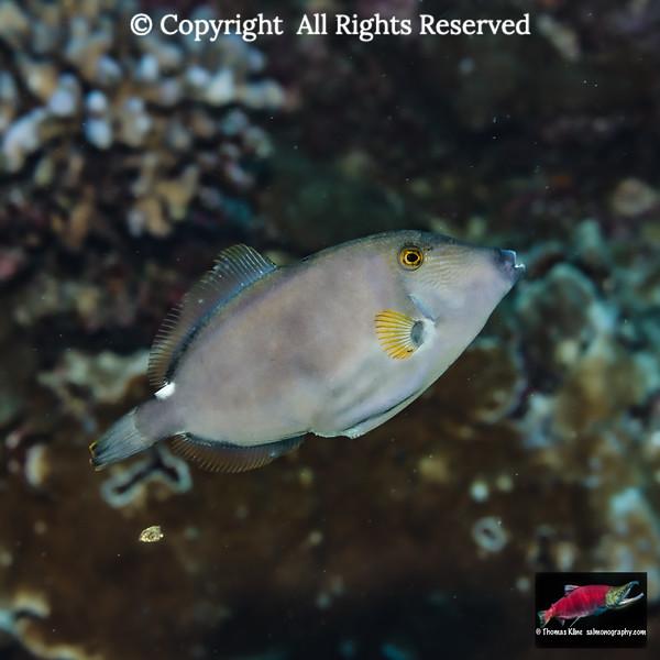 Squaretail Filefish