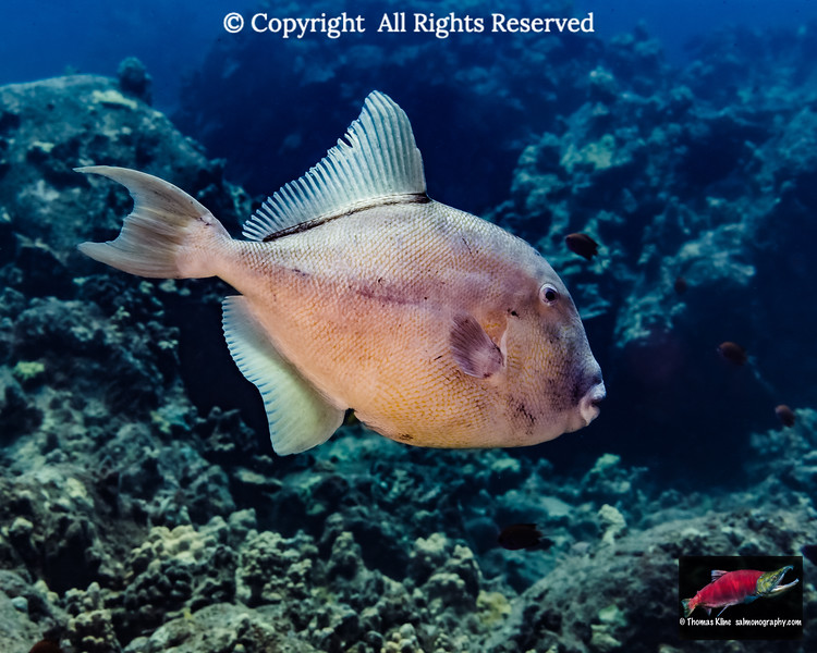 Finescaled Triggerfish