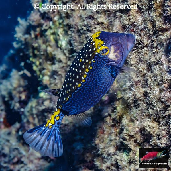 Male Spotted Boxfish