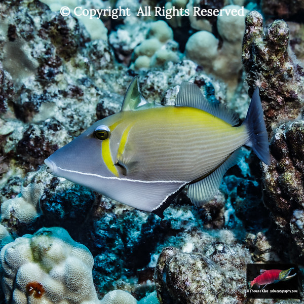 Lei Triggerfish with errect spiny dorsal fin