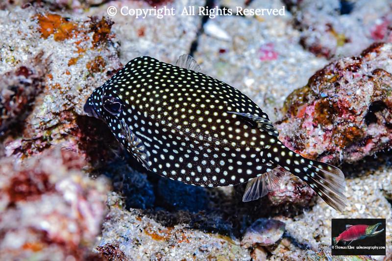 Hawaiian Spotted Boxfish female