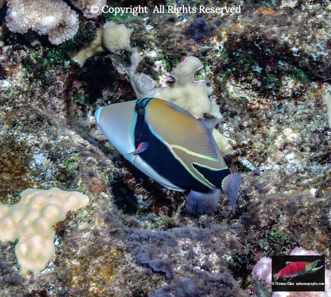 Humuhumu nukunuku apua'a; Reef triggerfish