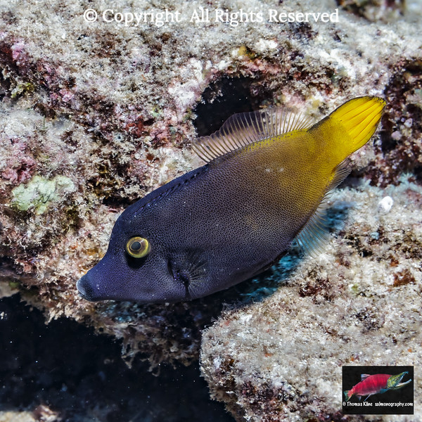 Yellowtail Filefish