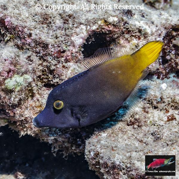 Yellowtail Filefish