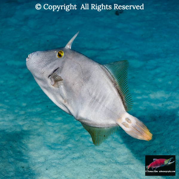Barred Filefish
