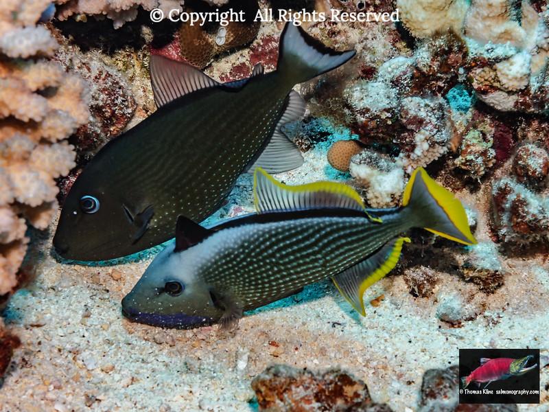 Bluegill Triggerfish spawning pair