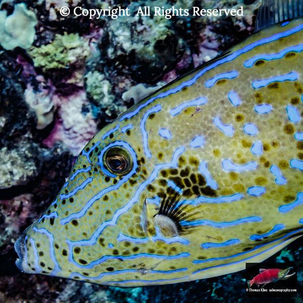 Scrawled Filefish close-up portrait