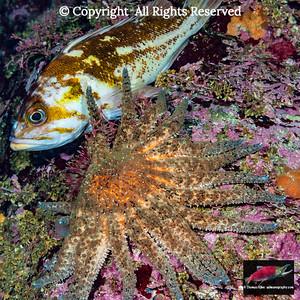 Sunflower Sea Star and Copper Rockfish