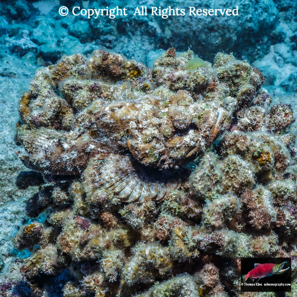 Well-camouflaged Devil Scorpionfish