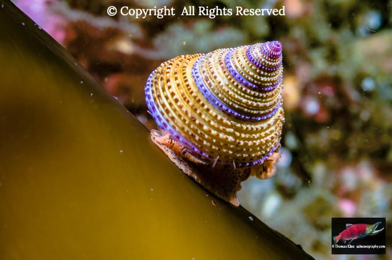 Purple-Ring Top Snail