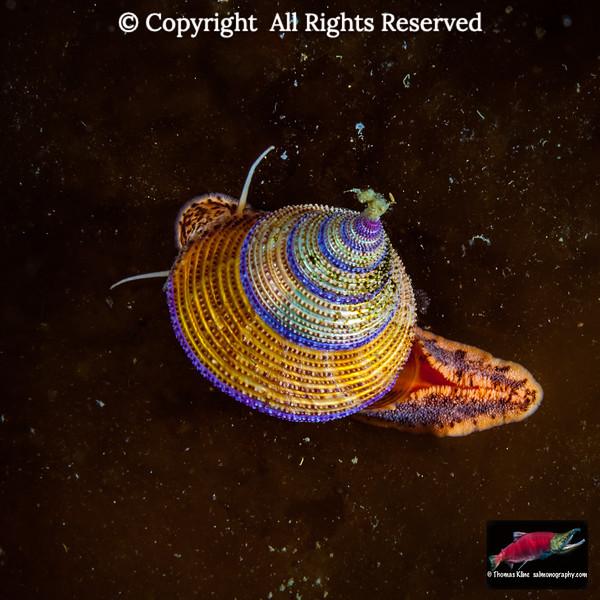 Purple-Ringed Top Snail