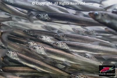 Eulachon spawning migration