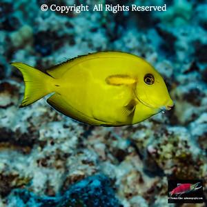 Orangeband Surgeonfish juvenile