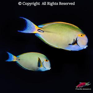 Eyestripe Surgeonfish pair