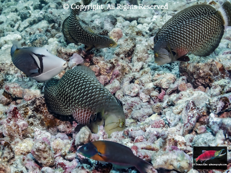 A trio of Rockmover Wrasse foraging