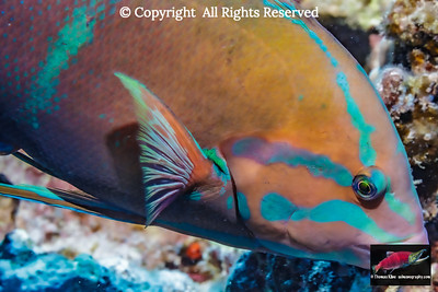 Yellowtail Coris close-up portrait