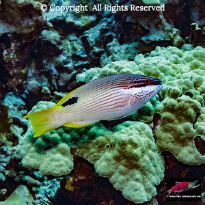 Hawaiian Hogfish