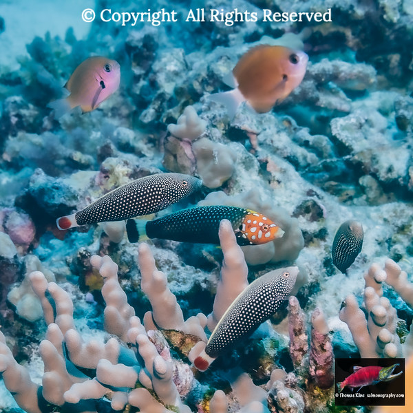 A male Psychedelic Wrasse with a harem of three females