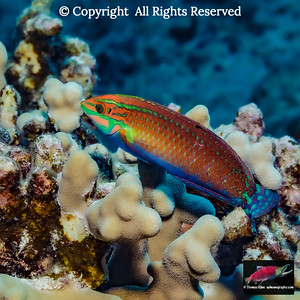 Ornate Wrasse over finger coral