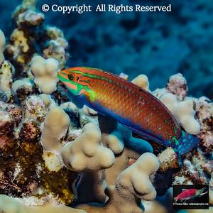 Ornate Wrasse over finger coral