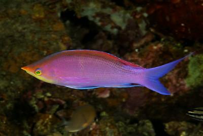 Pseudanthias tuka - Purple anthias