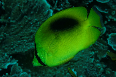 Chaetodon speculum - Ovalspot butterflyfish