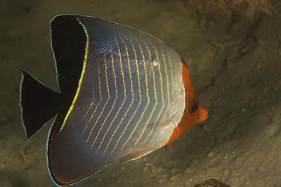 Chaetodon larvatus