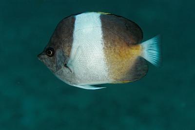 Hemitaurichtys zoster - Andaman Sea