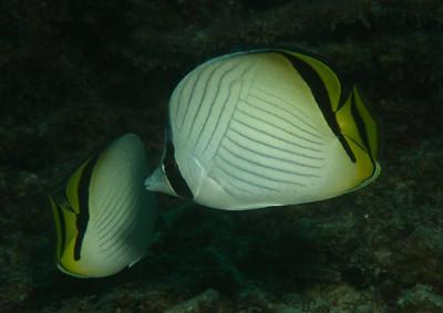 Chaetodon vagabundus - Vagabond butterfly fish