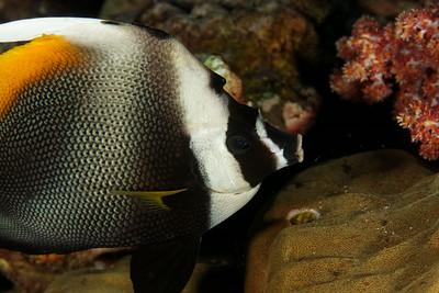 Heniochus singularis - Andaman Sea