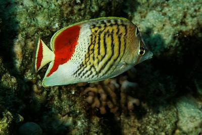 Chaetodon paucifasciatus - Crown butterflyfish